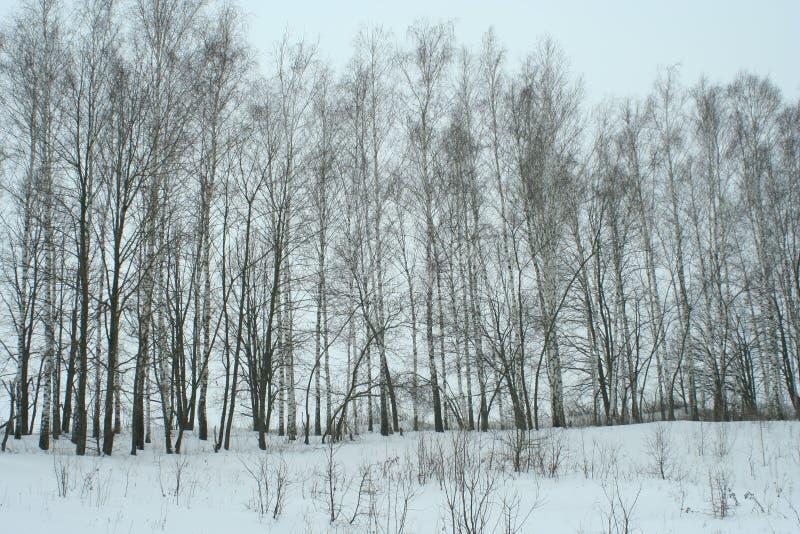 Bosje van de de winter het jonge berk stock foto