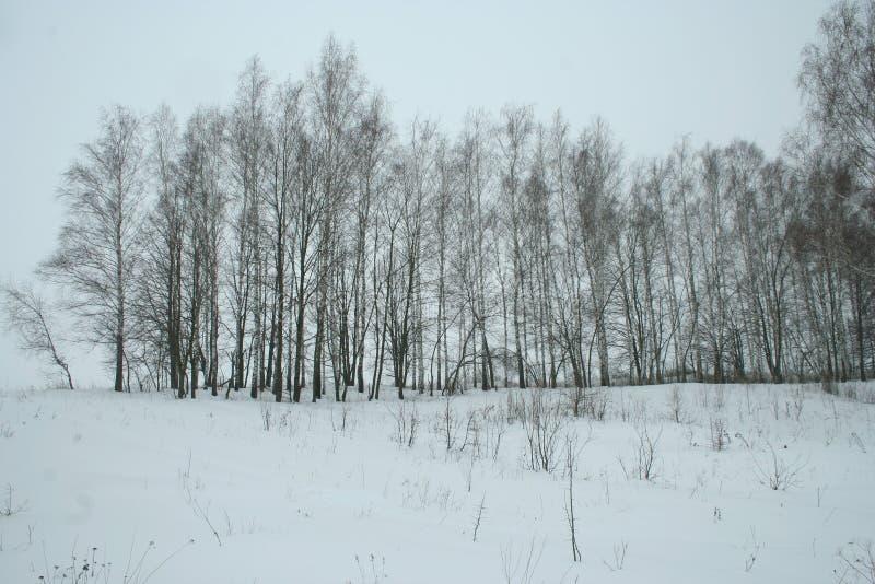 Bosje van de de winter het jonge berk stock foto's