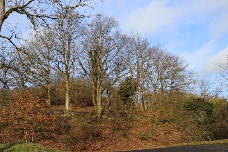 Bosje van eiken bomen voor hemel, milde wintertijd in Duitsland bij Middlerhine-gebied stock afbeeldingen