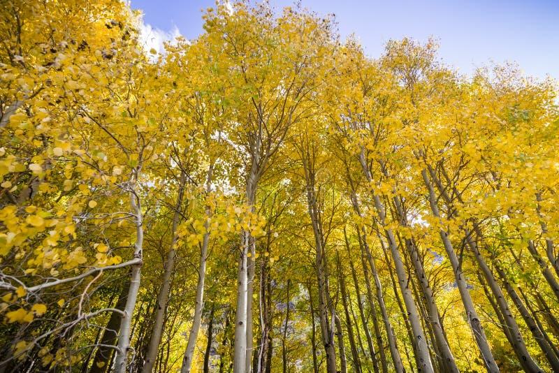 Bosje van espbomen op een zonnige dalingsdag stock fotografie