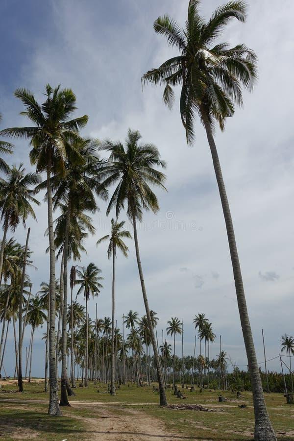 Bosje van kokospalmen stock foto