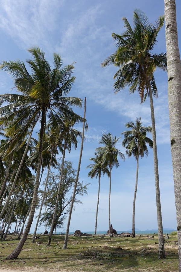 Bosje van kokospalmen royalty-vrije stock fotografie