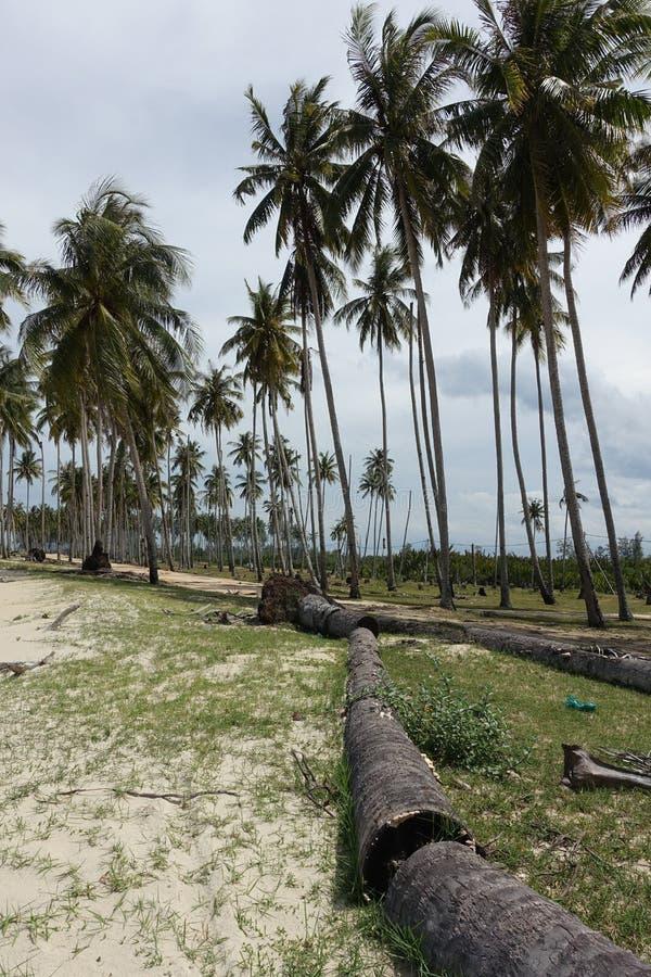 Bosje van kokospalmen stock afbeelding