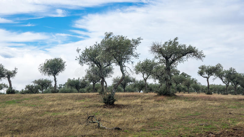 Bosje van Olijfbomen royalty-vrije stock foto