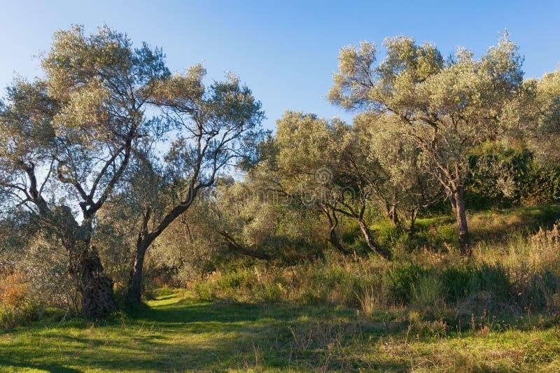 Bosje van Olijfbomen stock foto's