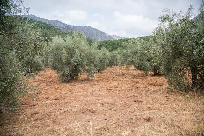 Bosje van olijfbomen in Marbella, Spanje royalty-vrije stock afbeeldingen