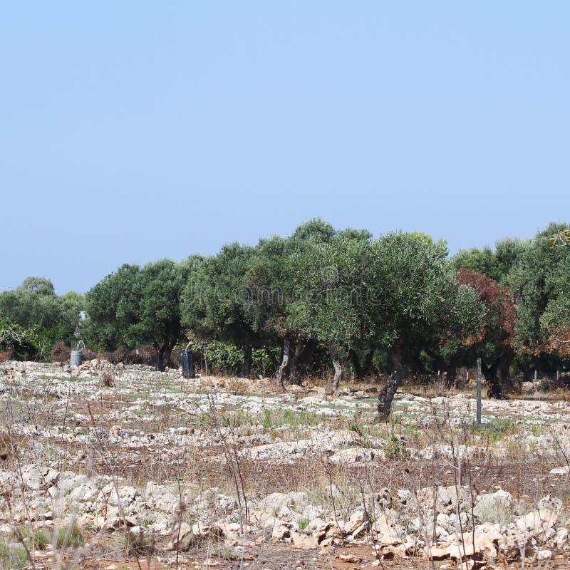Bosje van olijfbomen in Salento in Puglia in Itali? stock afbeelding