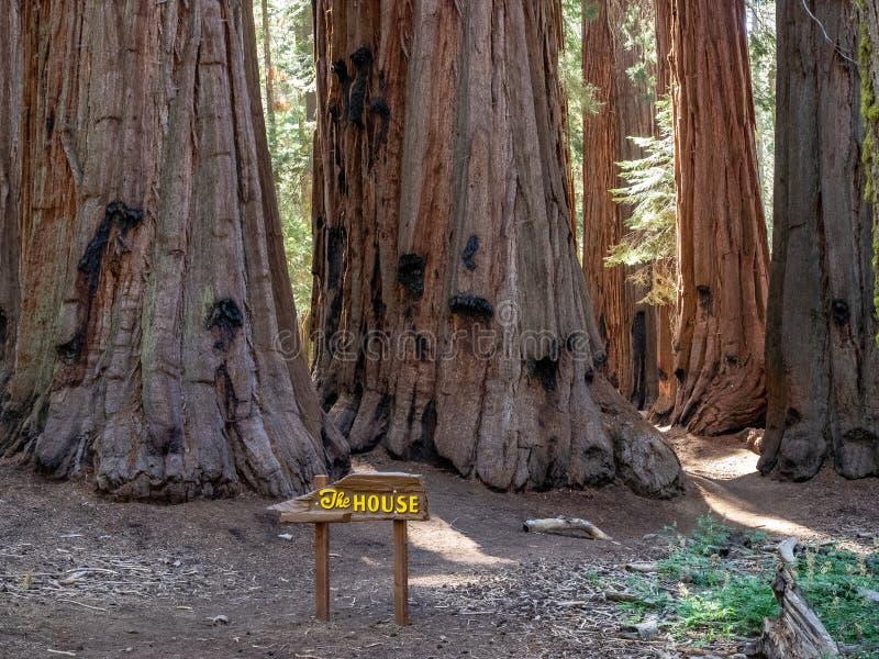 Bosje van reuzesequoiabomen royalty-vrije stock foto