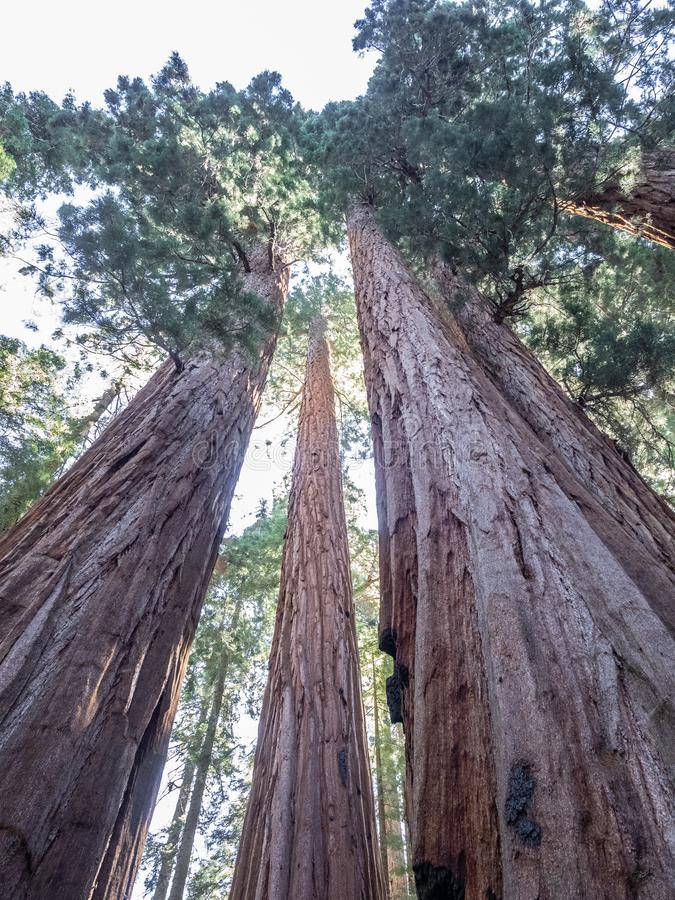 Bosje van reuzesequoiabomen royalty-vrije stock fotografie