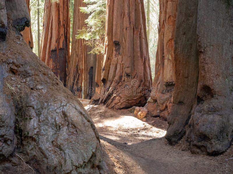 Bosje van reuzesequoiabomen stock foto