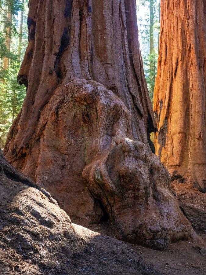 Bosje van reuzesequoiabomen stock afbeelding