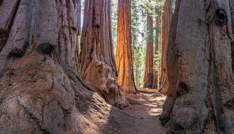 Bosje van reuzesequoiabomen stock foto's