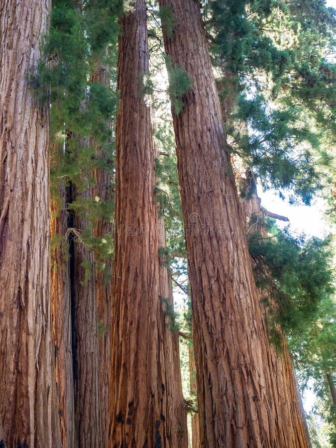 Bosje van reuzesequoiabomen stock fotografie