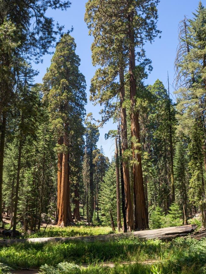 Bosje van Sequoia's in een weide stock foto