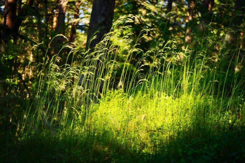 Boskreupelhoutvegetatie Gras het groeien op kruidachtige laag van understory of kreupelhout op bosopen plek stock afbeeldingen