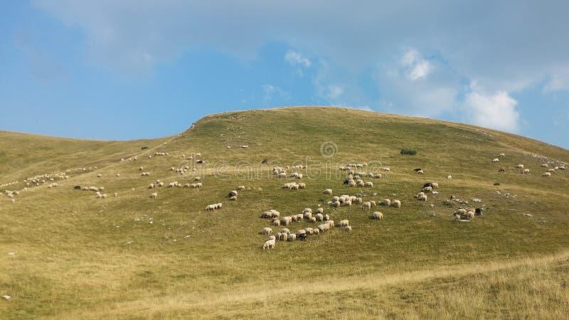 Bosnia y Herzegovina/las ovejas hojea en la montaña foto de archivo