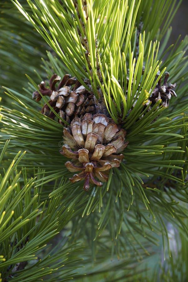 Bosnian pine cones. Bosnian pine Pinus heldreichii. Another scientific name is Pinus leucodermis royalty free stock photography