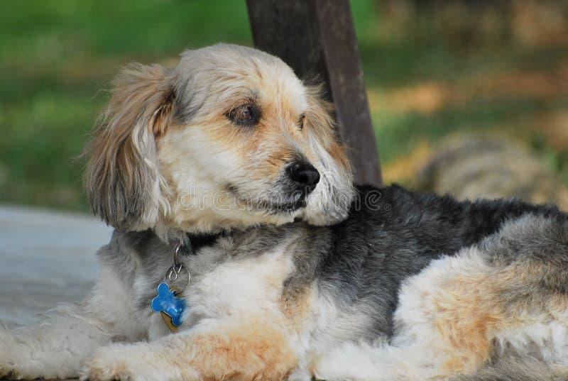 bosnisk grov haired hund arkivbilder