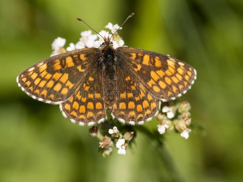 Bosparelmoervlinder,荒地贝母, Melitaea athalia 免版税库存照片