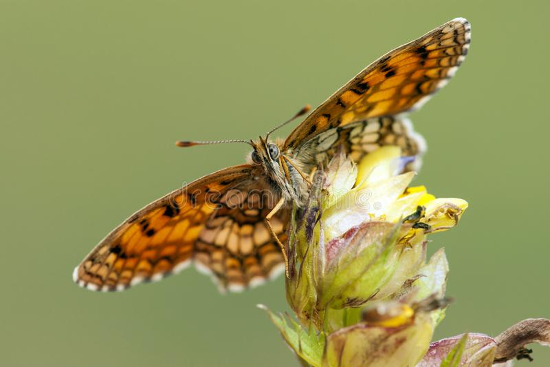 Bosparelmoervlinder,荒地贝母, Melitaea athalia 库存图片