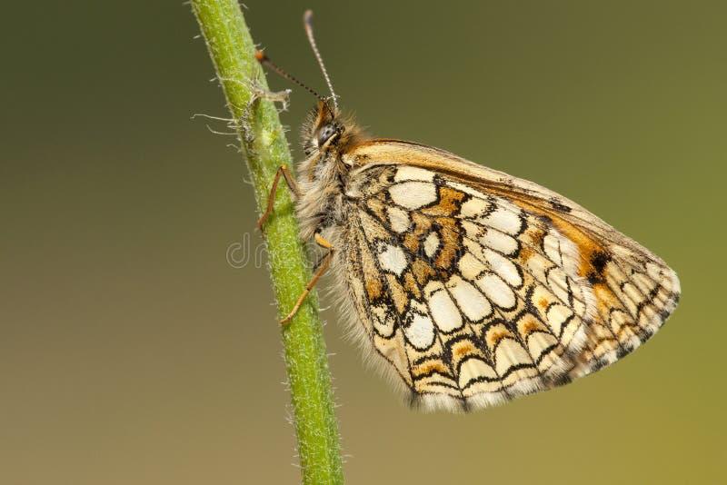 Bosparelmoervlinder,荒地贝母, Melitaea athalia 库存照片