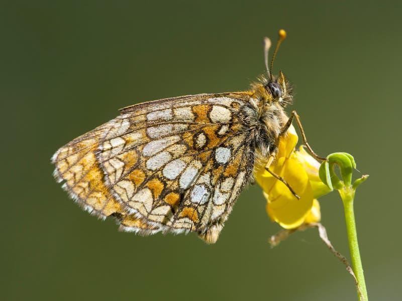 Bosparelmoervlinder,荒地贝母, Melitaea athalia 免版税库存图片