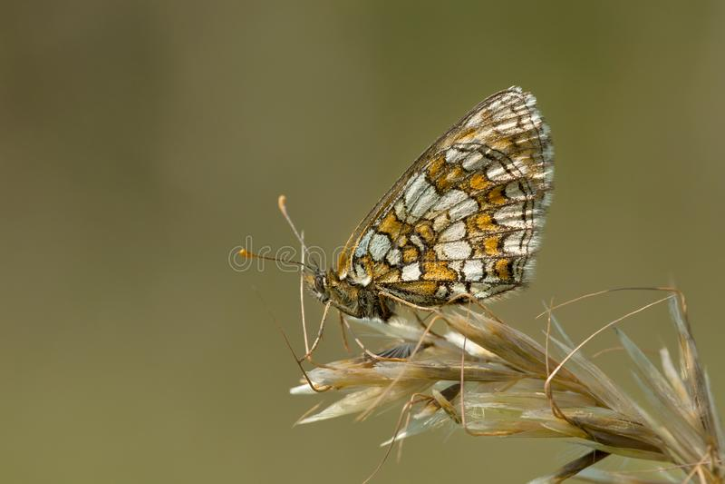Bosparelmoervlinder, ρείκι Fritillary, athalia Melitaea στοκ φωτογραφίες