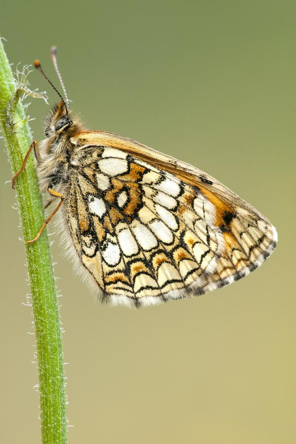Bosparelmoervlinder, Heath Fritillary, athalia de Melitaea fotos de archivo