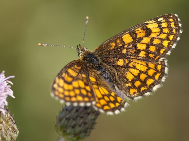 Bosparelmoervlinder, Heath Fritillary, Melitaea-athalia lizenzfreie stockfotos