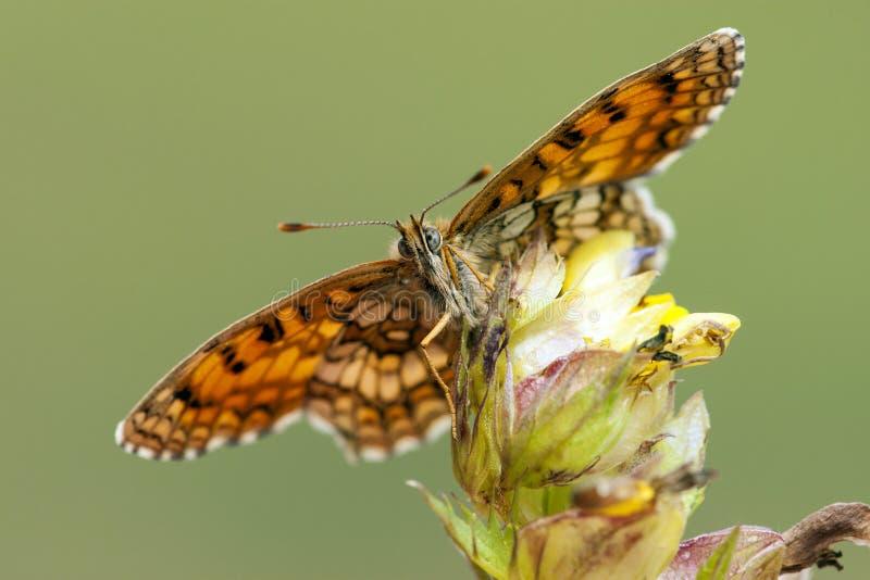 Bosparelmoervlinder, Heath Fritillary, Melitaea-athalia stockbilder