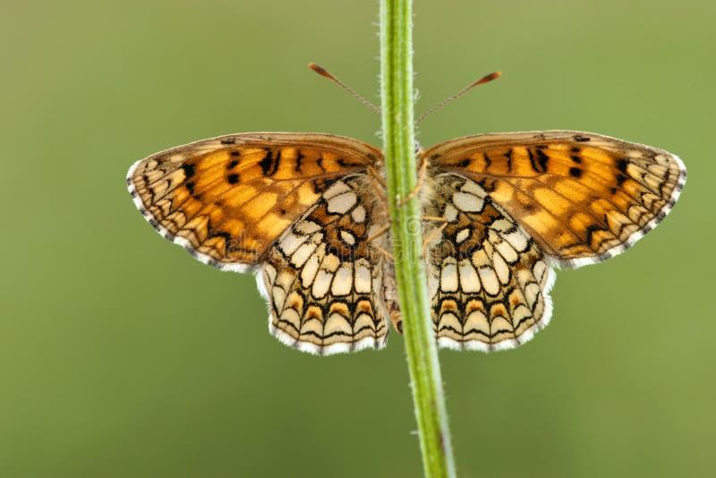 Bosparelmoervlinder, Heath Fritillary, Melitaea-athalia lizenzfreie stockfotografie