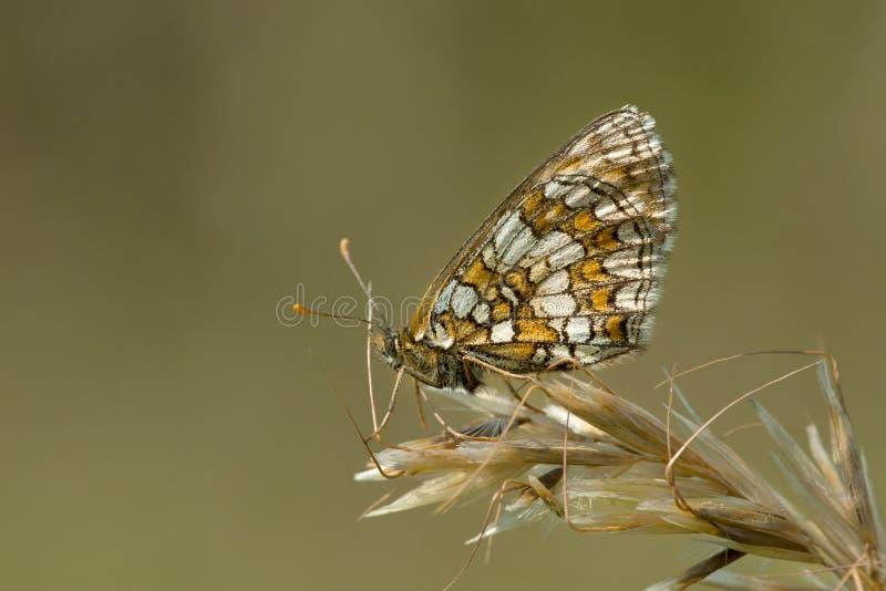 Bosparelmoervlinder, Heath Fritillary, Melitaea-athalia stockfotos
