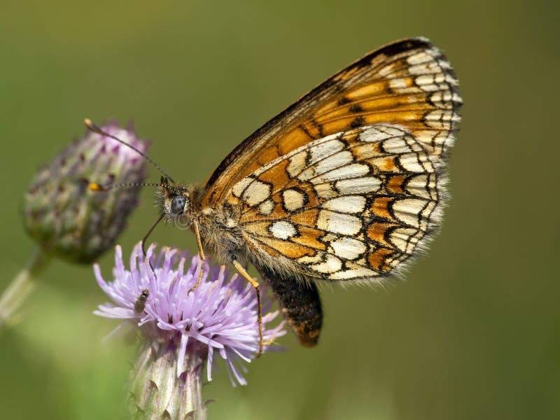 Bosparelmoervlinder, Heath Fritillary, Melitaea-athalia stockbild