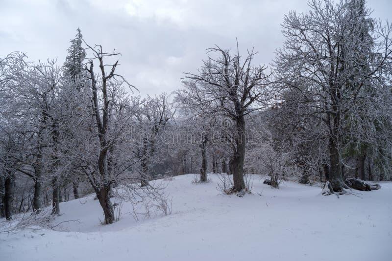Bosque alpestre Nevado foto de archivo libre de regalías