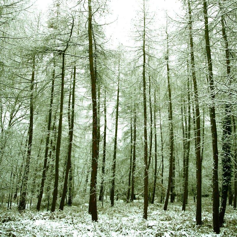 bosque alpestre pacífico cubierto en nieve, imagenes de archivo