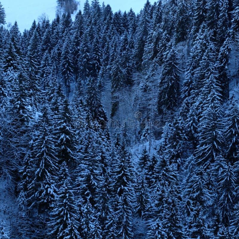 Bosque alpino del árbol de pino Nevado foto de archivo