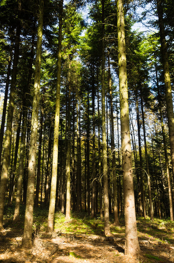 Bosque alto del árbol de pino en el soporte Bobija foto de archivo