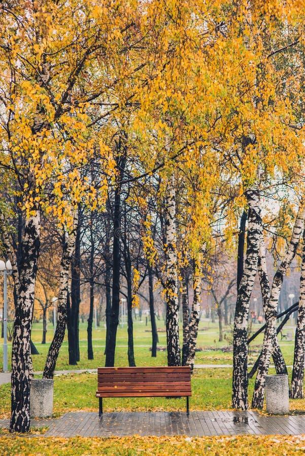 Bosque amarelo do vidoeiro da árvore do outono entre a grama alaranjada no parque com banco fotografia de stock royalty free