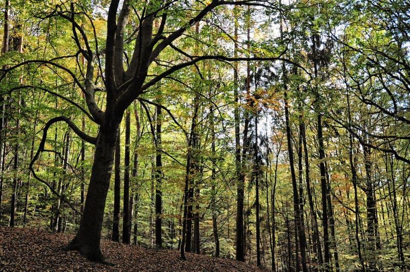 Bosque amplio espeluznante de los árboles de la hoja en el otoño/la luz del día de la caída fotos de archivo libres de regalías