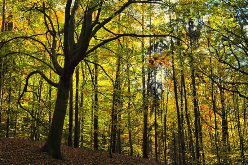 Bosque amplio espeluznante de los árboles de la hoja en el otoño/la luz del día de la caída foto de archivo libre de regalías