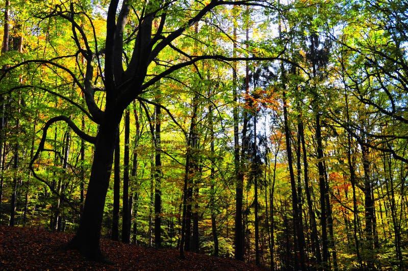 Bosque amplio espeluznante de los árboles de la hoja en el otoño/la luz del día de la caída imagenes de archivo