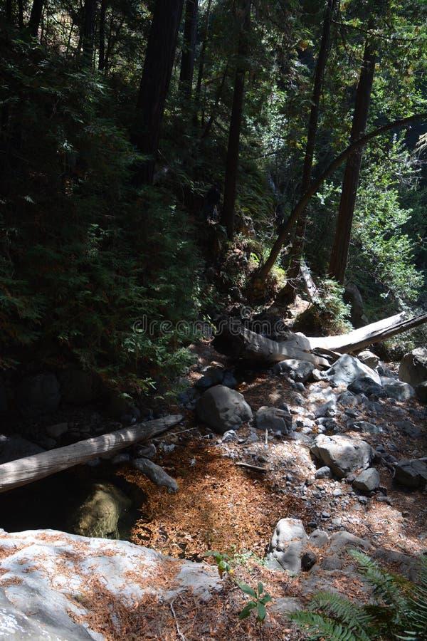 Bosque Big Sur Califórnia da sequoia vermelha da floresta nacional dos capelães do Los - a árvore caída faz a ponte através da an imagem de stock royalty free