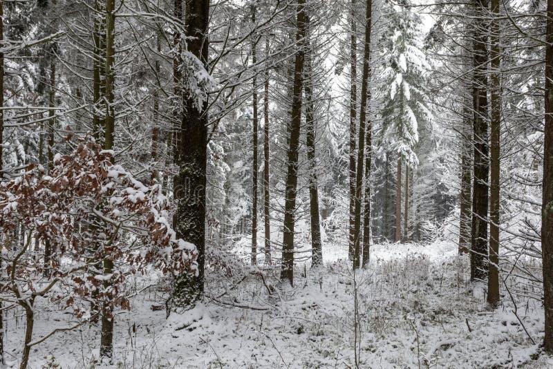 Bosque blanco del invierno fotos de archivo