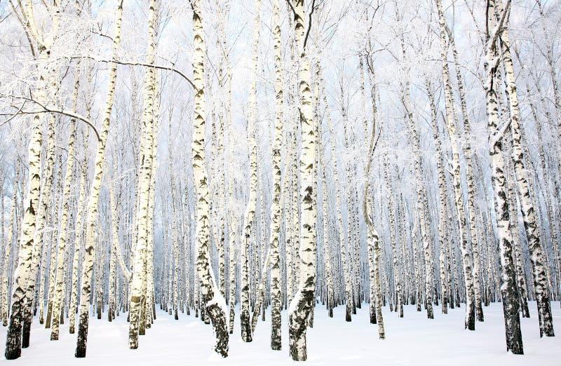 Bosque bonito do vidoeiro com neve coberta foto de stock royalty free