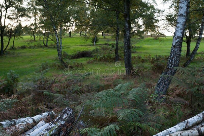 Bosque brilhante do vidoeiro com samambaia e grama, paisagem aberta do campo fotos de stock