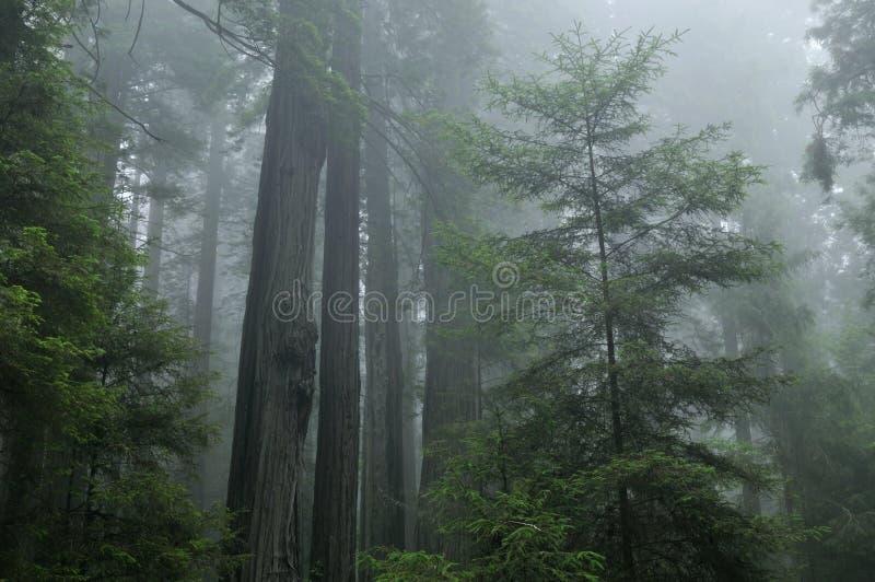 Bosque brumoso de la secoya imágenes de archivo libres de regalías
