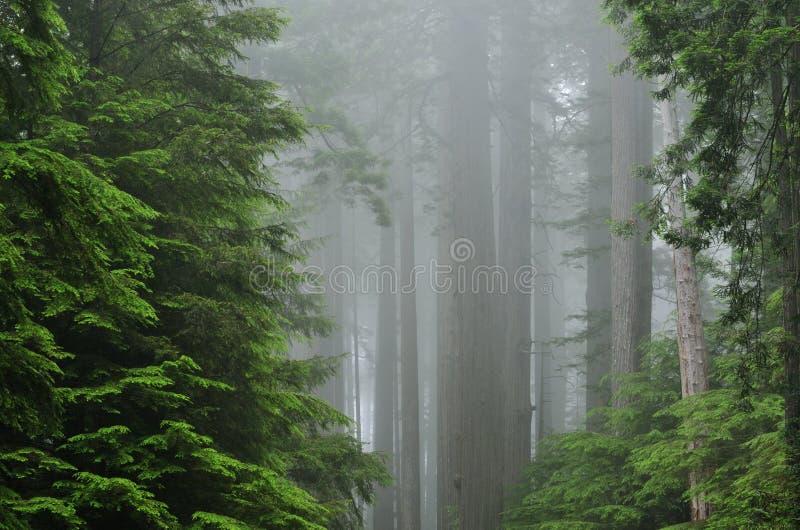 Bosque brumoso de la secoya imagen de archivo