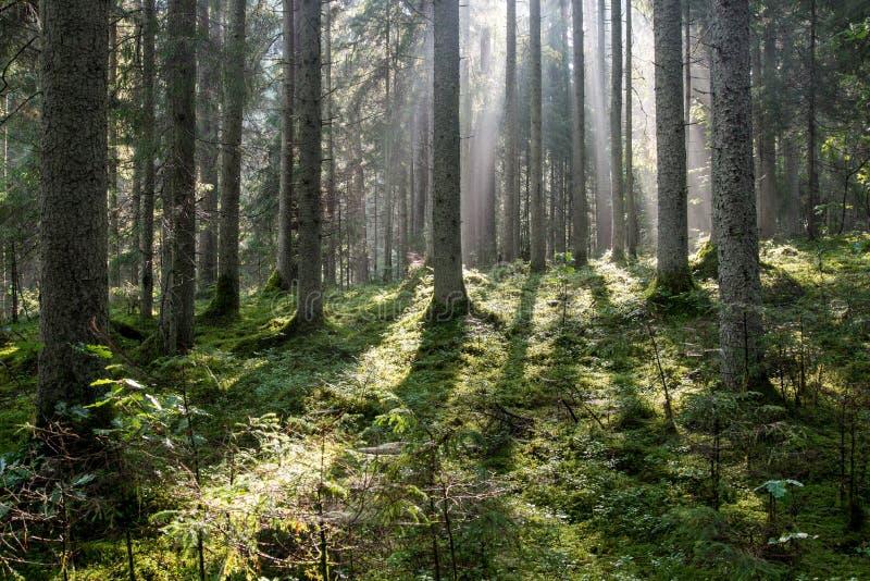 Bosque brumoso después de la lluvia en verano fotografía de archivo