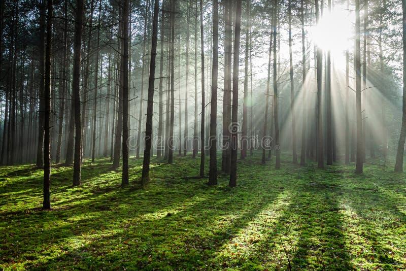 Bosque brumoso en la salida del sol en otoño, Polonia imagen de archivo