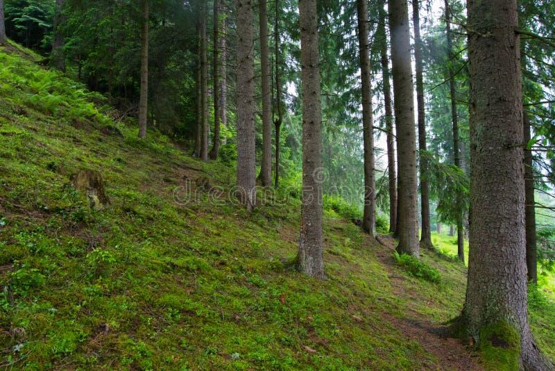 Bosque cárpato fotografía de archivo libre de regalías